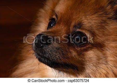 Droll Pomeranian Dog Black In 2020 Pomeranian Dog Cute Animals Puppies Dogs