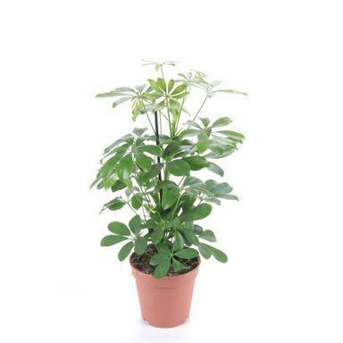 Szeflera Mix 45 Cm Kwiaty Doniczkowe W Atrakcyjnej Cenie W Sklepach Leroy Merlin Plants Herbs