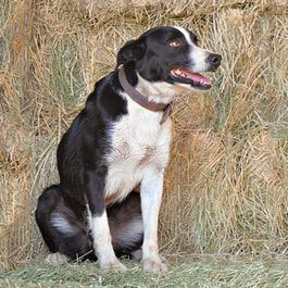 Sparky Is A Mcnab Collie Black White Medium Smooth Coated