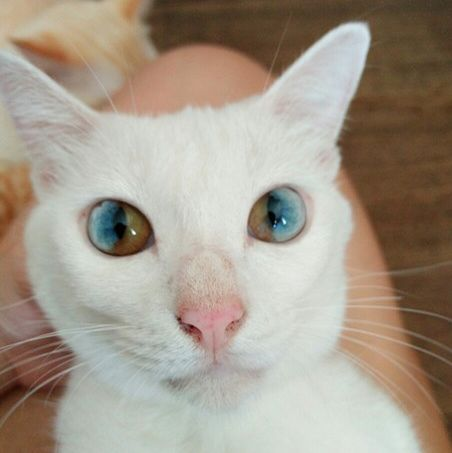 2ea42dbc50 CAT WITH 2 EYE COLORS IN EACH EYE ---It s common to see animals with two  different eye colors