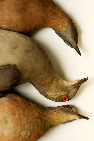 Passenger pigeons, extinct. Study of mass extinctions by Marc Schlossman