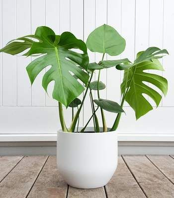 Philodendron Monstera Split Leaf Plants Philodendron Monstera