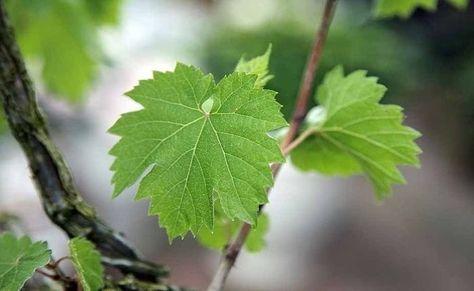 Manfaat Buah Anggur Untuk Jantung