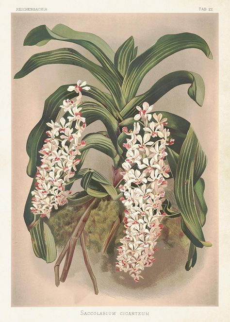 Plakat Orkide Vintage Poster 50x70 Vintage Plakater Orkide Vintage Billeder