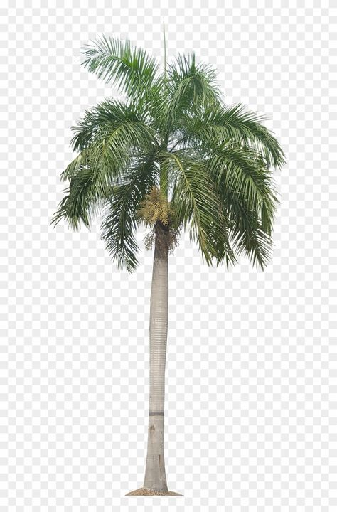 Palm Tree Png Palm Trees Plant Pictures Plant Images Transparent Background Palm Tree Png Download Is Best Qu In 2021 Palm Tree Png Tree Photoshop Plant Images