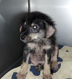 Harris County Tx Urgent I Need Rescue Baby Alert Id A517715 I Am A Black Setter Retrieve The Shelter Staff Puppy Adoption Kittens Humane Society