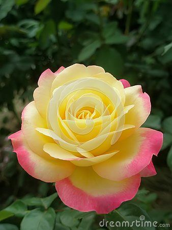 Beautiful Garden Yellow Color Rose Outdoors Planting Worm Park