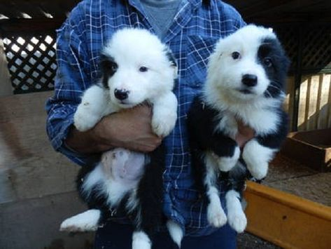 Border Collie Puppies For Sale Nsw Zoe Fans Blog Collie
