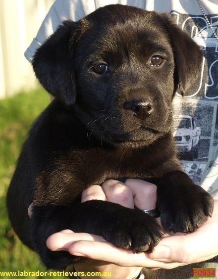 Labrador Puppy Labrador Puppies For Sale Nsw Australia Animal Breeding Pampoolah Nsw 2430 Truelocal L Labrador Puppy Labrador Puppies For Sale Puppies