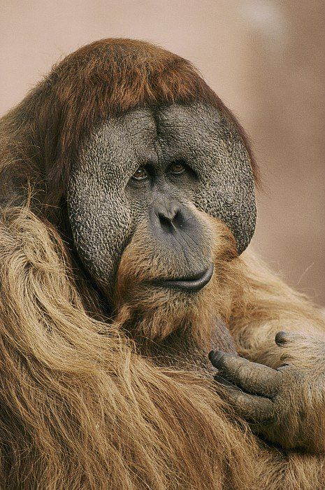 ✮ A portrait of the rare Sumatran Orangutan (Pongo pygmaeus).