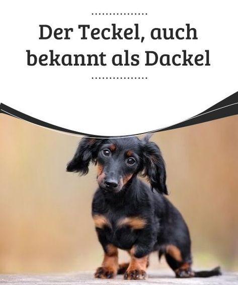 Der Teckel Auch Bekannt Als Dackel My Animals Dackel Reinrassige Katzen Hunde Rassen
