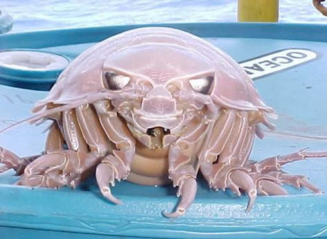 This is the Giant Isopod and it is scaring me to death.  It is a very freaky insect like creature that is related to the pillbugs you find in your garden and to shrimp and crab.  It is found in the deep sea and occasional oceanside restaurants in northern Taiwan, will boil them and serve them with rice.  Ick