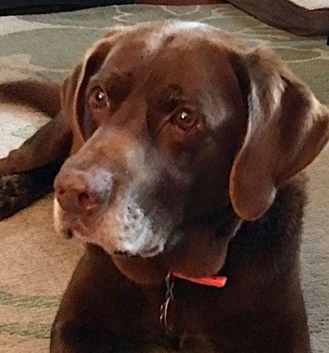 Adopt Brad 4 On Petfinder Labrador Retriever Labrador Dog Labrador