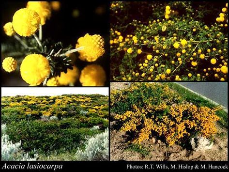 112f948dcbad95978540c5292516ebb5 native plants acacia