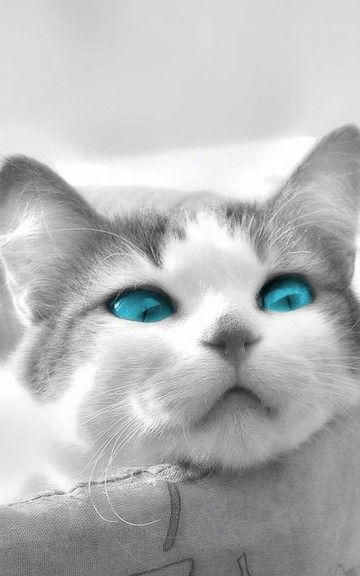 Animals Black And White Cat Blue Eyes Android Wallpaper Wallpapers Hd 4k Background For Android Pet Birds Cat Wallpaper White Cat