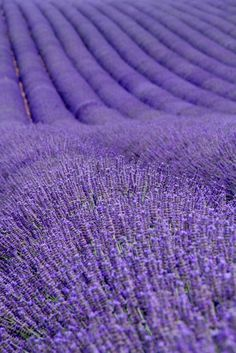 Lavender fields near Valensole in Provence, France Vinyl Wall Mural – Themes - Lavender fields near Valensole in Provence, France Wall Mural Dark Purple Aesthetic, Violet Aesthetic, Lavender Aesthetic, Rainbow Aesthetic, Bedroom Wall Collage, Photo Wall Collage, Picture Wall, Purple Stuff, All Things Purple