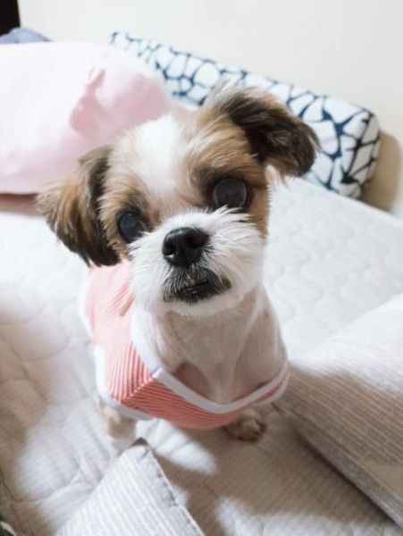 Shih Tzu Dog For Adoption In Haymarket Virginia Choonbae In Haymarket Virginia Dog Adoption Shih Tzu Dog Shih Tzu