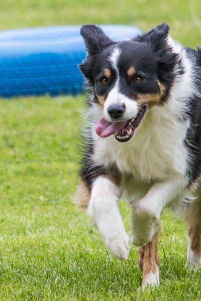 How To Train Your Border Collie Dog To Run Agility Dogs Border