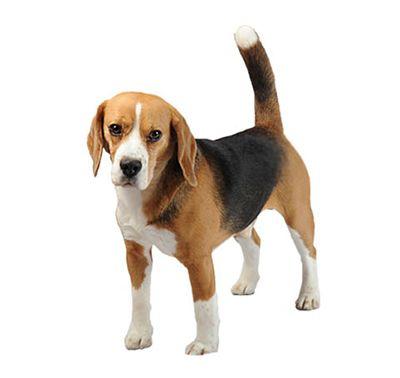Beagle Dog Breed Information Purina Friendly Dog Breeds