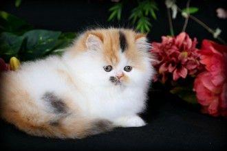 Himalayan Kitten Persian Kittens Teacup Persian Kittens