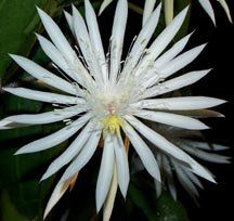Photo of hybrid epiphyllum epiphyllum georges favorite uploaded image 0 of night blooming cereus hookers orchid cactus epiphyllum hookeri mightylinksfo Image collections