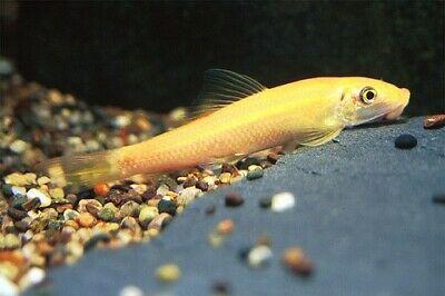 Live Aquarium Fish Golden Chinese Algae Eater Affilink Petsupplies Live Aquarium Fish Fish Aquarium Fish