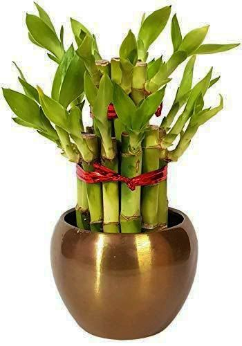 Modish Bamboo Plants For Sale Near Me That Will Blow Your Mind