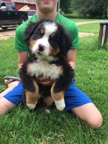 Litter Of Bernese Mountain Dog Puppies For Sale In Richland Center