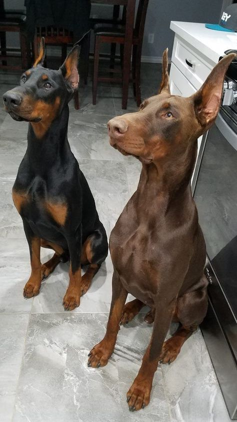 Discover The Doberman Pinscher Pups Size Doberman Pinscher Dog, Doberman Dogs, Dobermans, Blue Doberman, Cute Funny Animals, Cute Baby Animals, Big Dogs, I Love Dogs, Cute Puppies