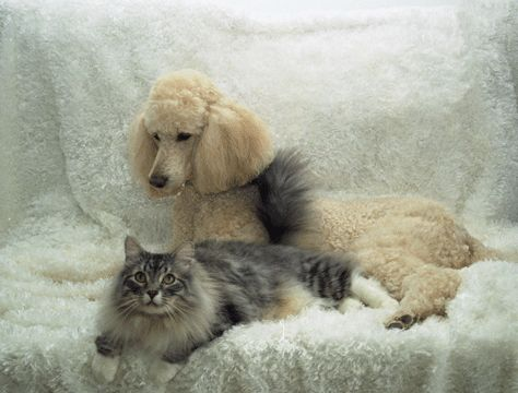 Poodle And Mainecoon Cat This Looks Like My Poodle Giant