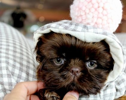 Pin By Crystal Perales On A Place Called H O M E In 2020 Teacup Puppies For Sale Teacup Shih Tzu Teacup Puppies