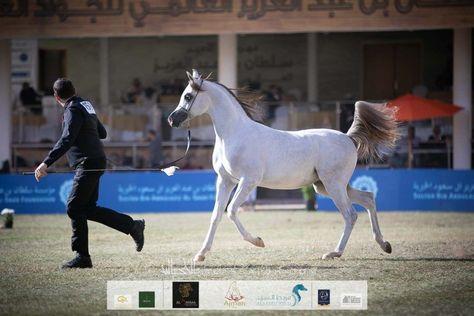 استعراض مهارات الخيل والفروسية أبرز مظاهر العيد في عمان Arabian Horse Akhal Teke Horses