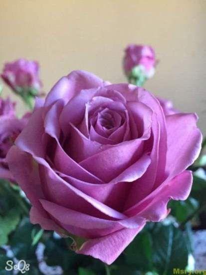 صور ورد 2017 صورة ورد جميلةrosa Images 022 Flowers Plant Life Rose
