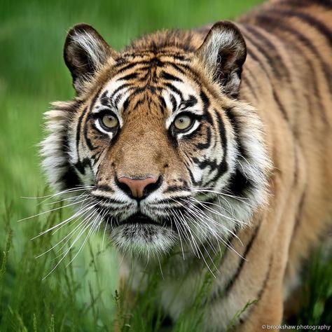 A Beautiful Sumatran Tiger Named Puna At Whf Big Cat Sanctuary Animals Tiger Whf Wildlifeheritagefoundation By Br Cat Sanctuary Sumatran Tiger Wild Cats