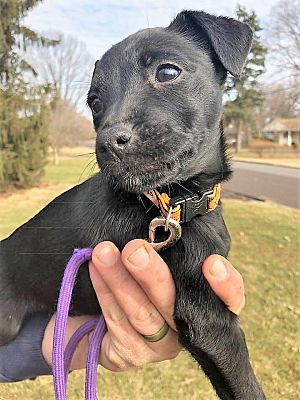 Pictures Of Saturn A Patterdale Terrier Fell Terrier For Adoption In Colmar Pa Who Needs A L Patterdale Terrier Patterdale Terrier Puppy Working Dogs Breeds