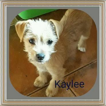 Hund Welpe Yorkshire Terrier Mix Weiblich 3 Monate Spanien Kaylee Yorkshire Terrier Hunde Hunde Welpen