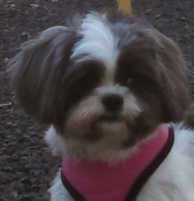 Shih Tzu Dog For Adoption In Rougemont Nc Usa Adn 69099 On