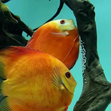 It's how the discus fish protect their eggs.  Follow us on instagram @aquascaperorg . . Visit our site : www.aquascaper.org   #discus #diskus #symphysodon #discusfish #discustank #cichlid #discusaddict #freshwateraquarium #aquarium #waterplants #fishlover #fishkeeping #amazonfish #amazonriver #amazonlife #aquascaping #aquascape #aquariumhobby #aquaticplant #ada #aquadesignamano #monsterfishkeeper #monsterfish #cutefish #naturelovers #natgeowildlife #natgeohub #malawicichlids #aquascaperorg