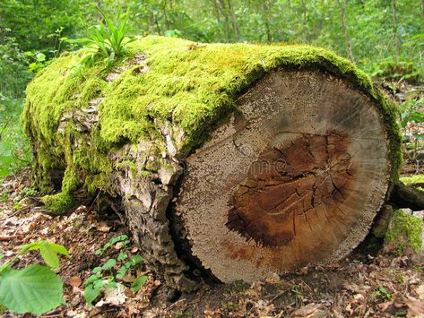 Mossy log. In a forest , #ad, #Mossy, #log, #forest #ad