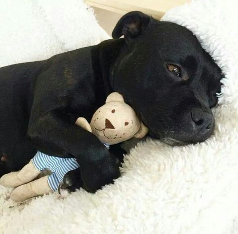 Dog with teddy bear. Super Cute Animals, Cute Funny Animals, Cute Baby Animals, Animals And Pets, Cute Dogs And Puppies, I Love Dogs, Doggies, Pitbull Terrier, American Staffordshire Terrier