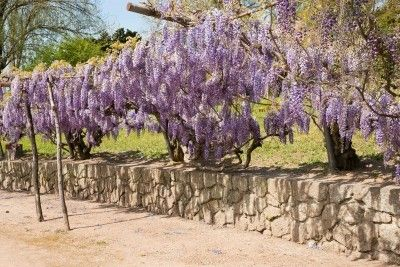 If you are a gardener living in a hot, arid climate, I?m sure you have researched and/or tried a number of drought tolerant plant varieties. There are many drought resistant vines suited for dry gardens. This article has some vines for hot gardens.