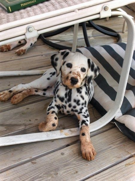 Latest Absolutely Free Dogs And Puppies Dalmatian Concepts Puppies