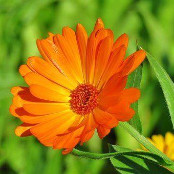 Bunga Marigold Melembapkan Dan Menyegarkan Kulit Mengatasi Tanda Tanda Penuaan Dini Seperti Keriput Dan Bintik Hitam Aroma Bunga Bunga Menanam Bunga