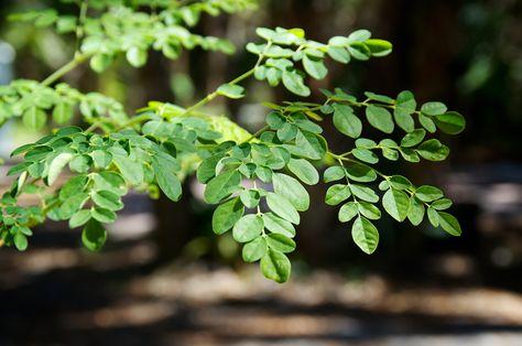 Moringa Oleifera A Great Immune Booster Plant Profiles Heirloom Gardener Moringa Tree Plants Moringa