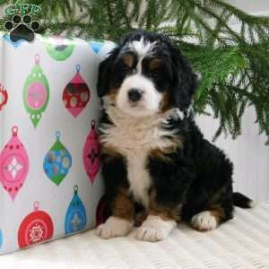 Mini Bernedoodle Puppies For Sale Greenfield Puppies Bernedoodle Puppy Bernedoodle Mini Bernedoodle