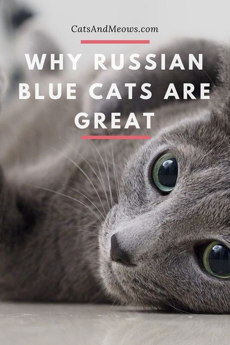 Why Russian Blue Cats Are Great Russian Blue Russian Blue Cat Blue Cats
