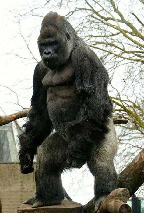 100 Ape Suit Cinema Ideas In 2020 Gorilla Apes Great Ape