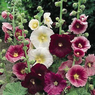 Alcea Rosea Ind Spring Mix 50 Seeds Hollyhock