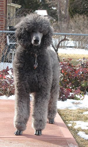 Check Out My Toes Dog Breeds Dog Breed Names Poodle Dog