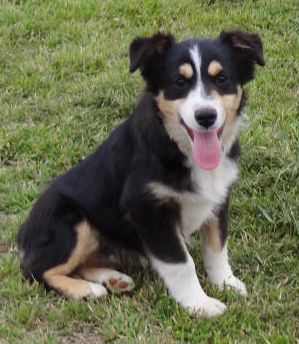 This Guy Is Ready To Go Too Black Tri Male With Brown Eyes Very Cute Little Man Should Heavily Carr Cute Animals Australian Shepherd Puppies Cute Puppies